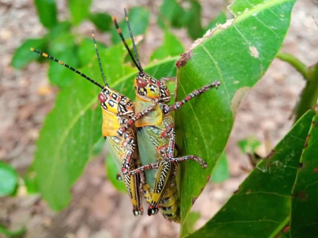 criquet ou sauterelle du Burkina Faso 53482e10