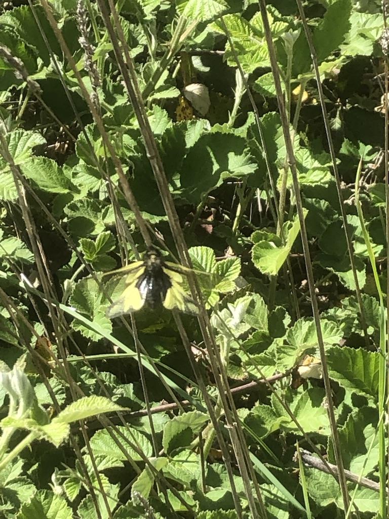 [Libelloides coccajus] camouflage parfait Quid10