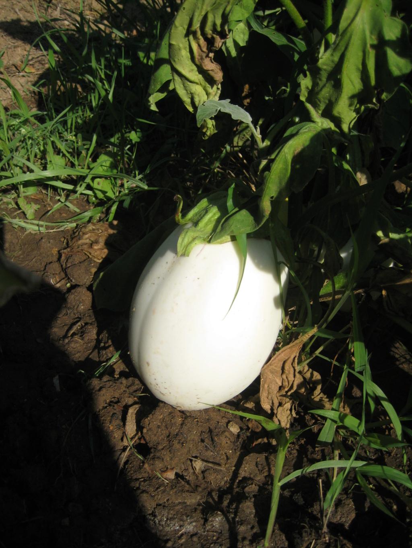 Las berenjenas blancas en forma de huevo se van imponiendo. Img_9314