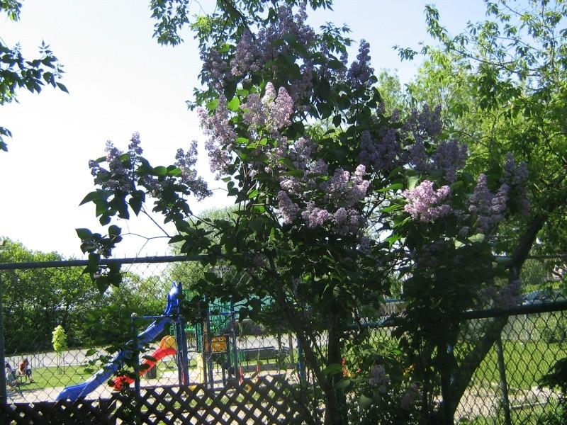 Mes Arbres et Arbustes et fleurs 00711