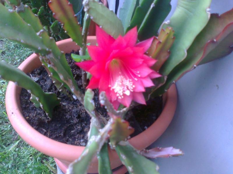 cactusii de toate felurile(ingrijirea si inmultirea lor) !!!!!! - Pagina 2 Fotogr16