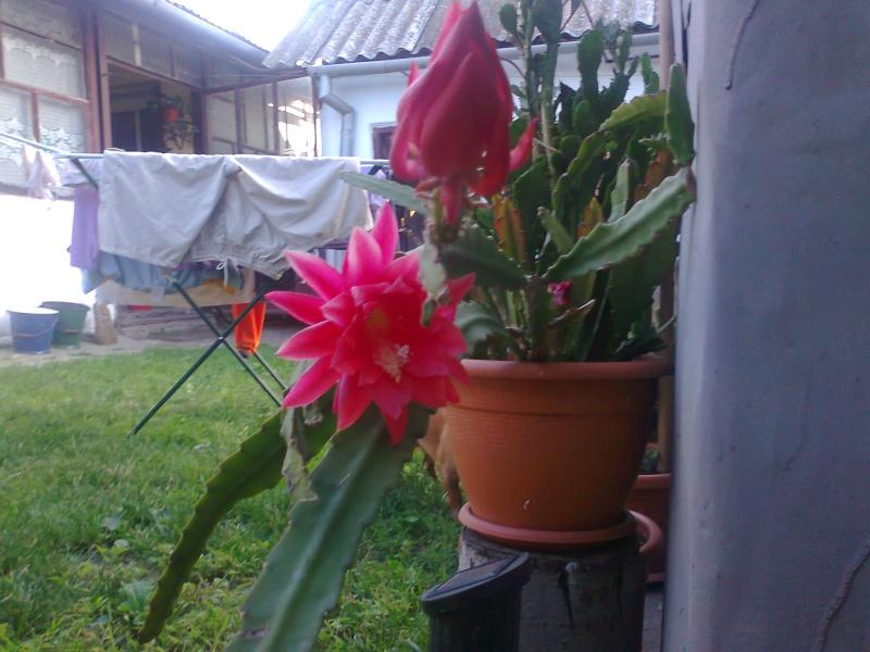 cactusii de toate felurile(ingrijirea si inmultirea lor) !!!!!! - Pagina 2 Fotogr17