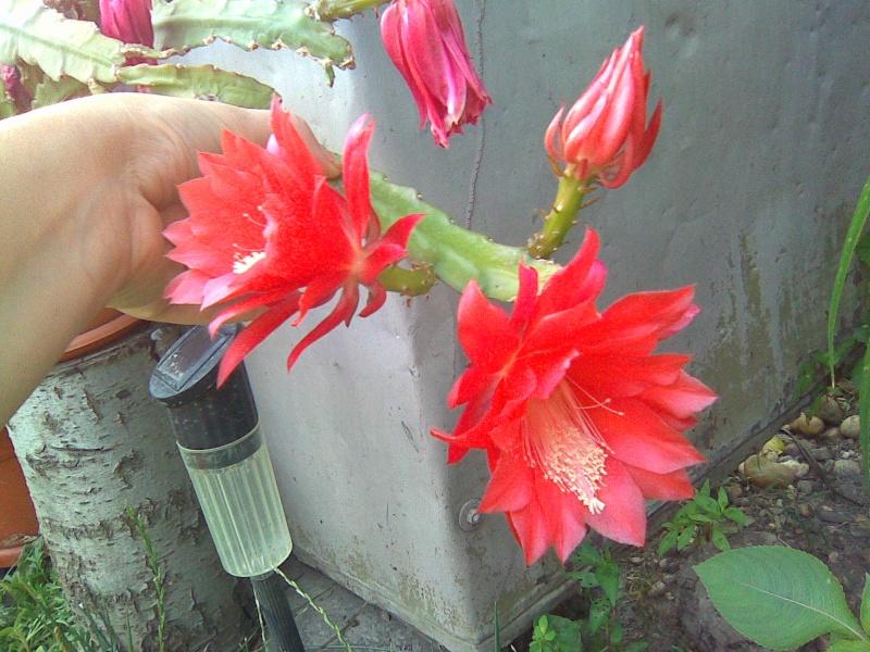 cactusii de toate felurile(ingrijirea si inmultirea lor) !!!!!! - Pagina 2 Imagi122