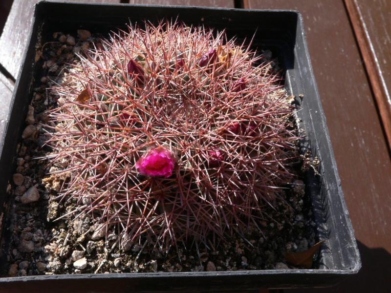 Mammillaria.....? P1040811