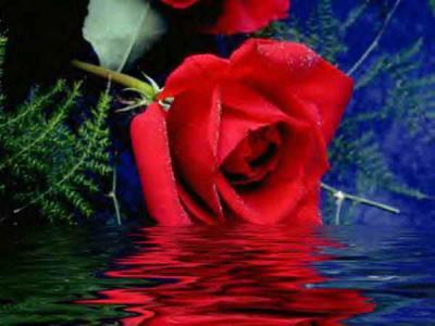الورد روح.. الورد جمال .. الورد أنوثة  File10
