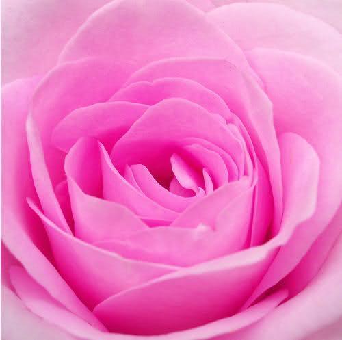الورد روح.. الورد جمال .. الورد أنوثة  File210