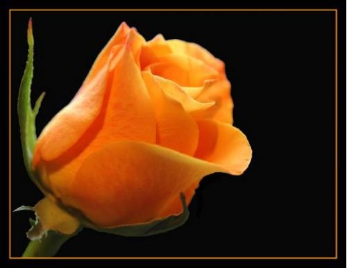 الورد روح.. الورد جمال .. الورد أنوثة  File410