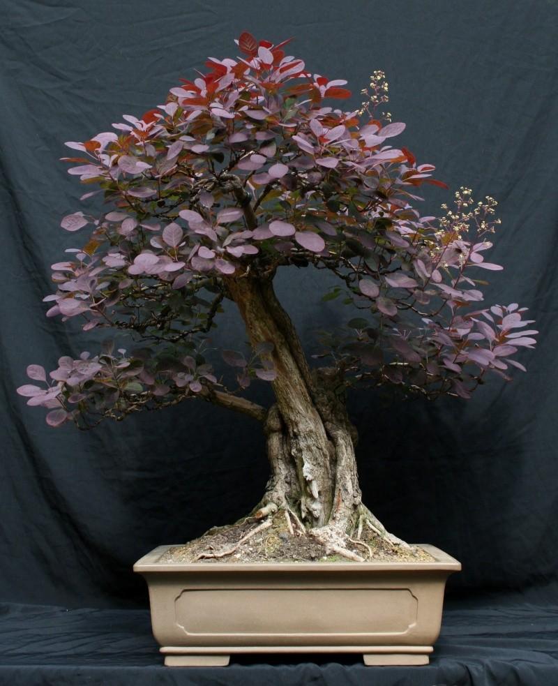 Purple Smokebush 00612