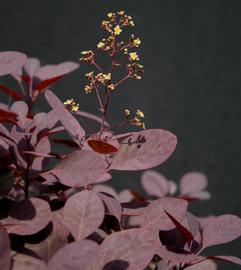 Purple Smokebush 00911