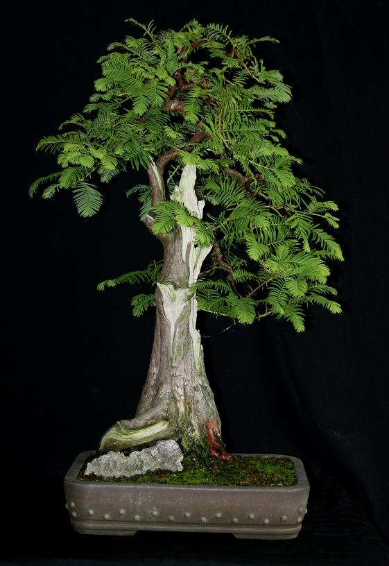 sequoia - Sequoia Sempervirens August10