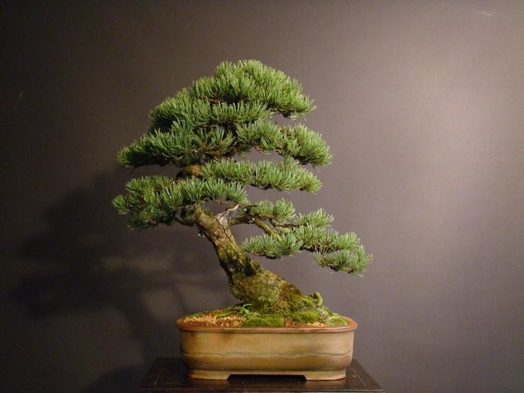 Pinus mugo 2004 _erven10