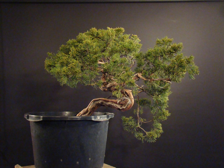 Juniperus sabina for my client 2010 Sane_110