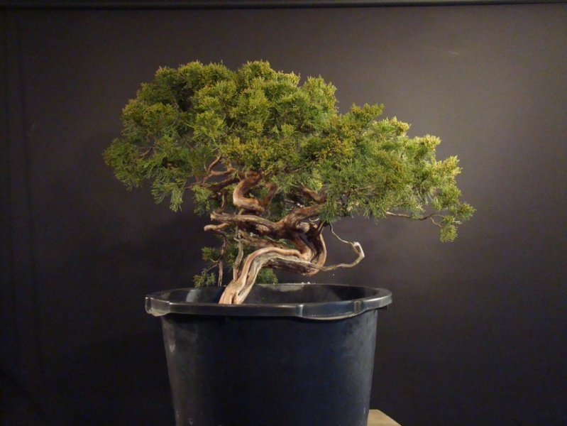 Juniperus sabina for my client 2010 Sane_210