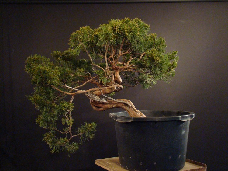 Juniperus sabina for my client 2010 Sane_310