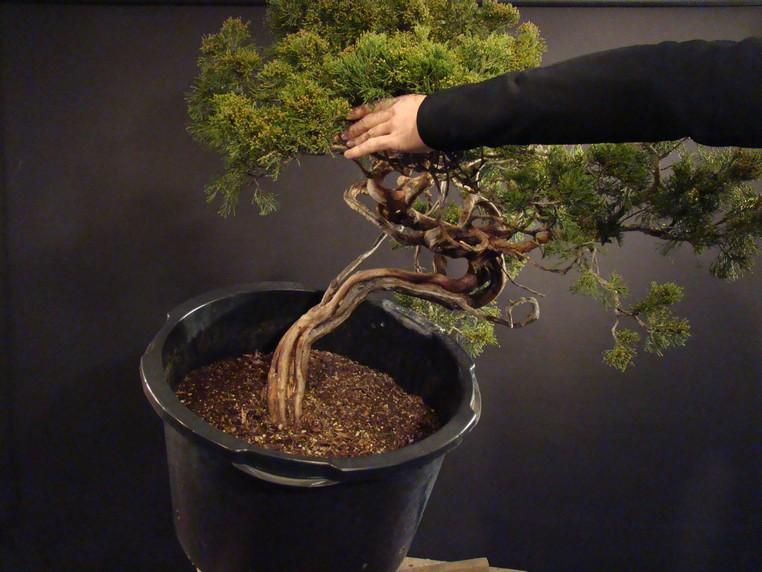 Juniperus sabina for my client 2010 Sane_410