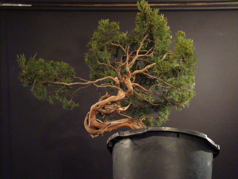 Juniperus sabina for my client 2010 Sane_510