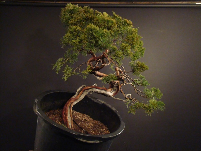 Juniperus sabina for my client 2010 Sane_610