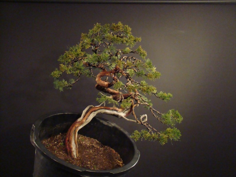 Juniperus sabina for my client 2010 Sane_910