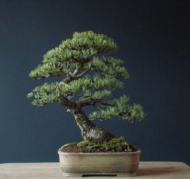 Pinus mugo 2004 - Page 2 Tau_210