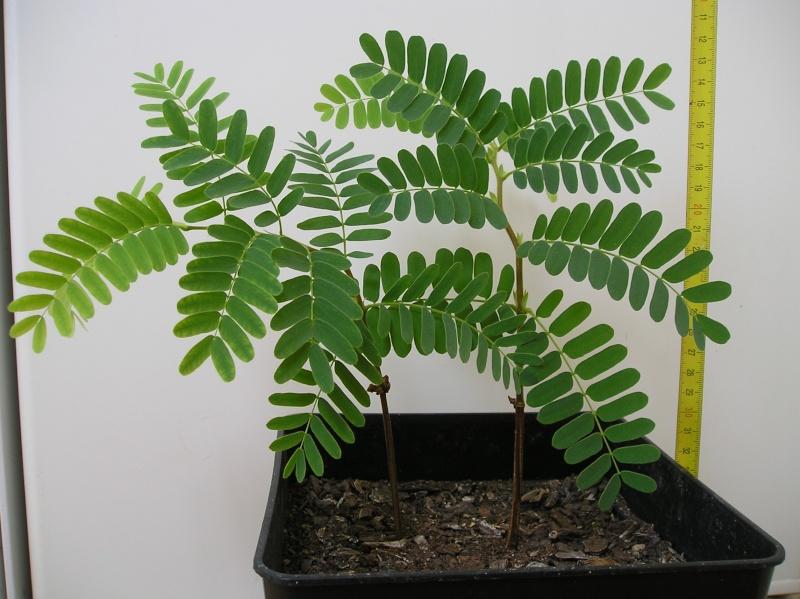 le tamarinier (Tamarindus indica)  P1010610