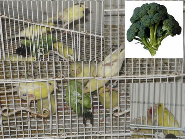 Le Brocoli et nos oiseaux ! Img_1110