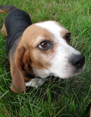 ALYZEE, beagle femelle, 3 ans 1/2 (86) Alyzae10