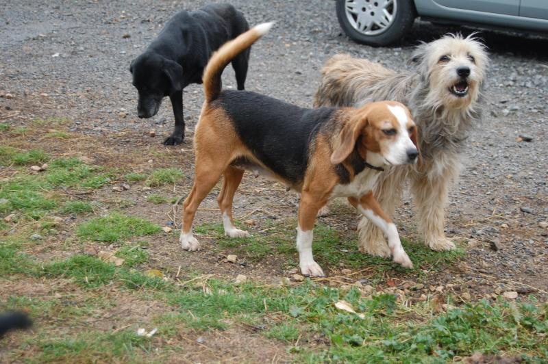ALYZEE, beagle femelle, 3 ans 1/2 (86) Dsc_7210