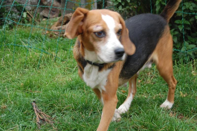 ALYZEE, beagle femelle, 3 ans 1/2 (86) Dsc_7211