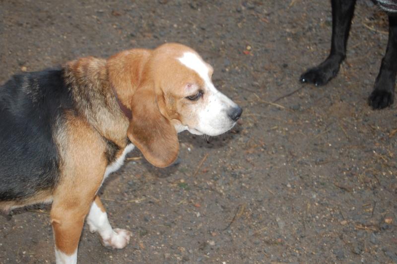 ALYZEE, beagle femelle, 3 ans 1/2 (86) Dsc_7214