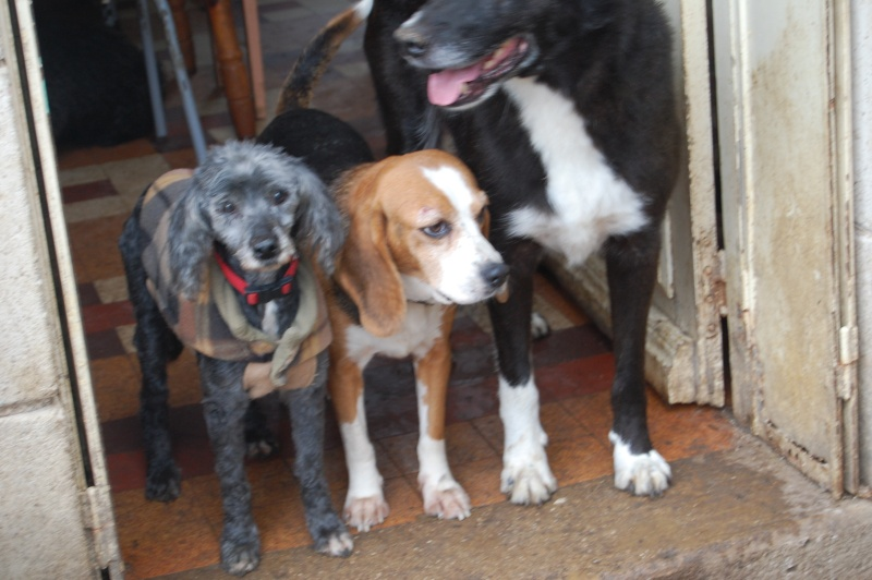 ALYZEE, beagle femelle, 3 ans 1/2 (86) Dsc_7310