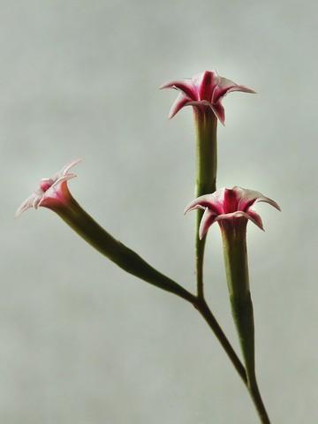 un fleur jolie [ Adromischus ] Adromi11