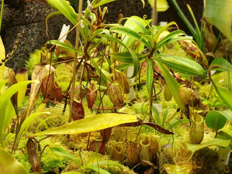 29/05/11 - Bourse aux Plantes Carnivores (et Tropicales) - Jardin botanique de Fribourg - Page 3 Glabra10