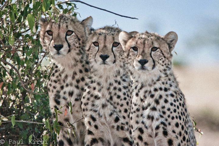 Playtime for 6 Cheetah cubs Shingo10