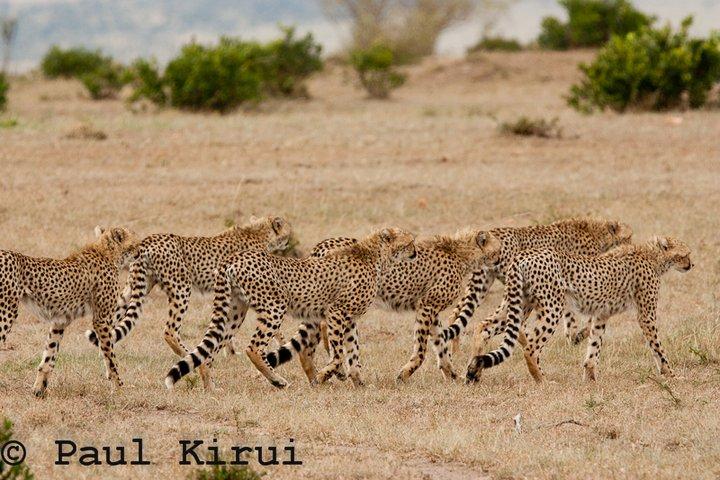 Playtime for 6 Cheetah cubs Shingo11