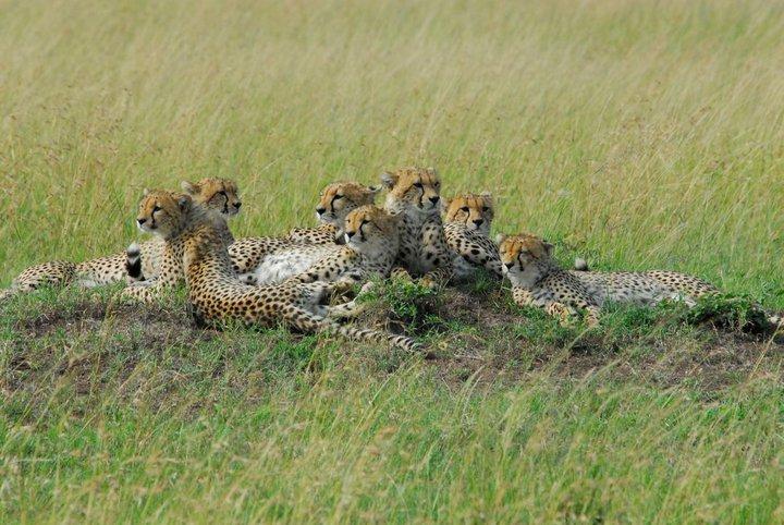 Playtime for 6 Cheetah cubs Shingo12