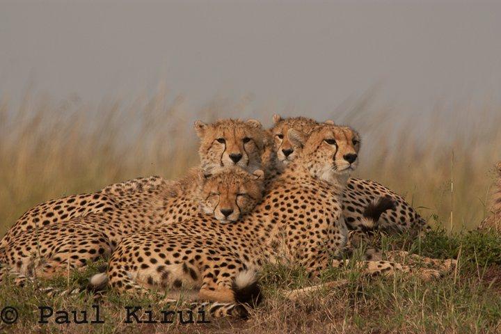 Playtime for 6 Cheetah cubs Shingo13