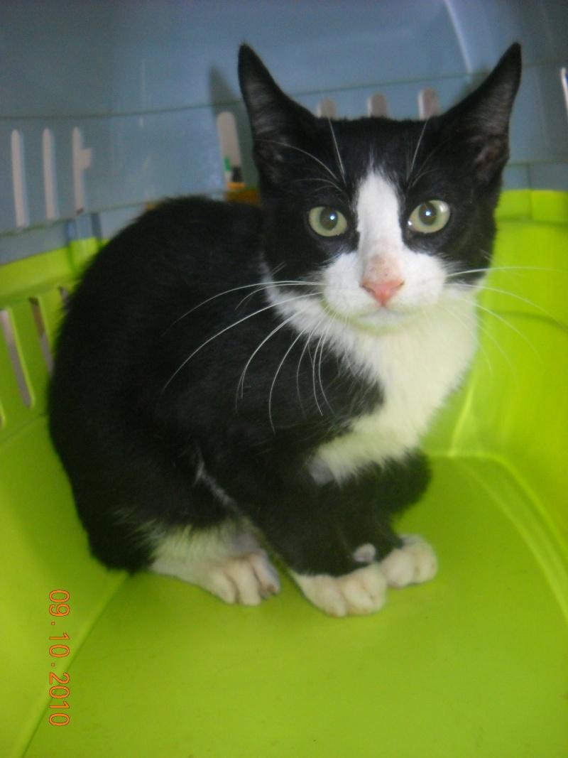 Astérix, 4 meses, macho, gato preto e branco lindooooo 00911