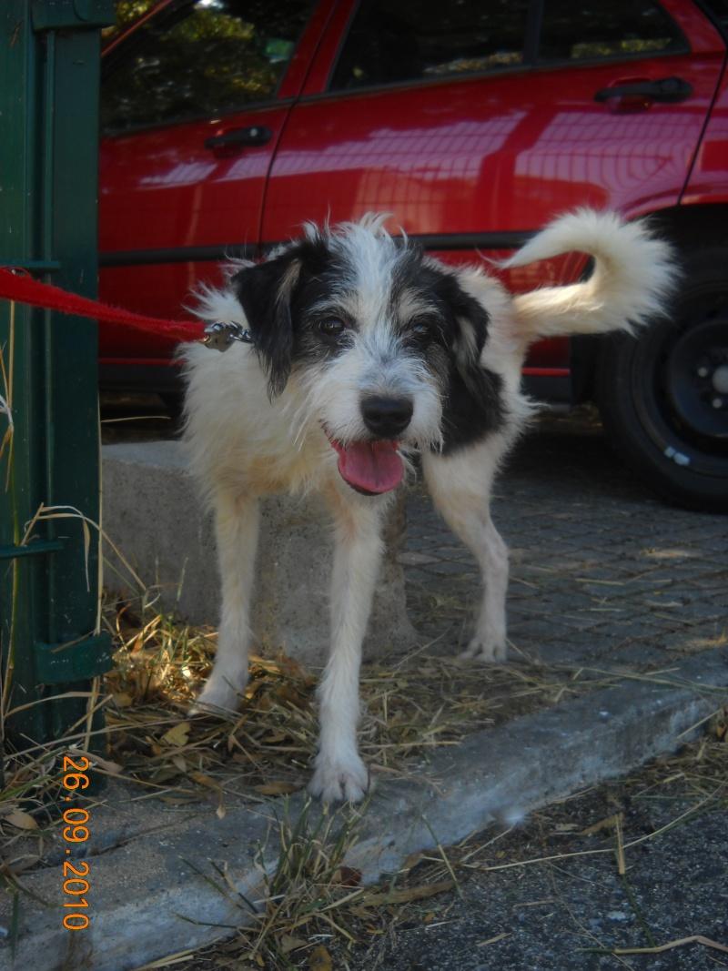 Bob, SRD, p.pequeno, muito meigo e sociável com animais 07310