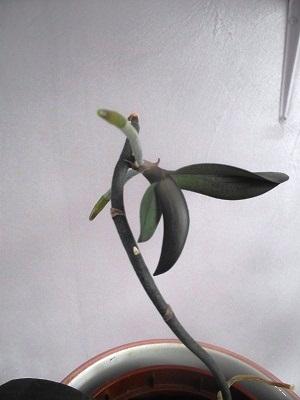 Bouturer les orchidées Dscf0111