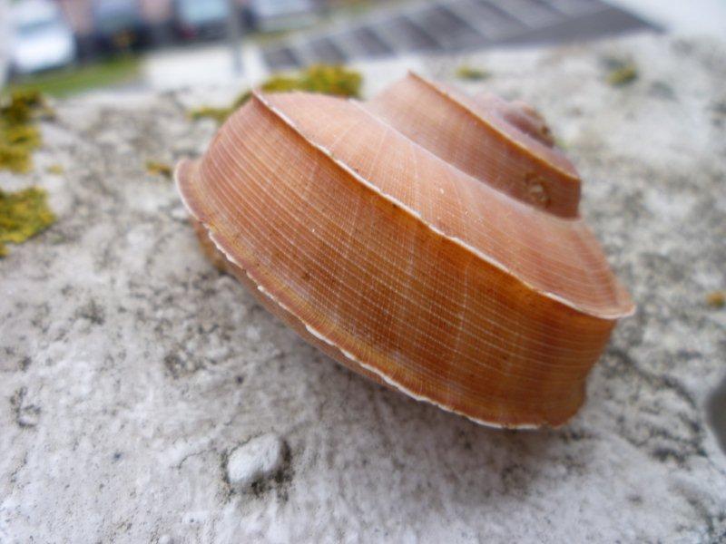 Tropidophora cuvieriana (Petit de la Saussaye, 1841) Escarg12