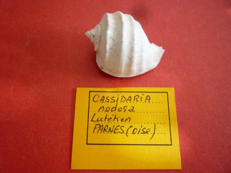 Cassidae - † Cassidaria nodosa (Solander in Brander, 1766) - Lutétien / Parnes (Oise) Thionv11