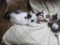 MELODIE - 2 ans - Femelle blanche et marbrée marron Img_1615