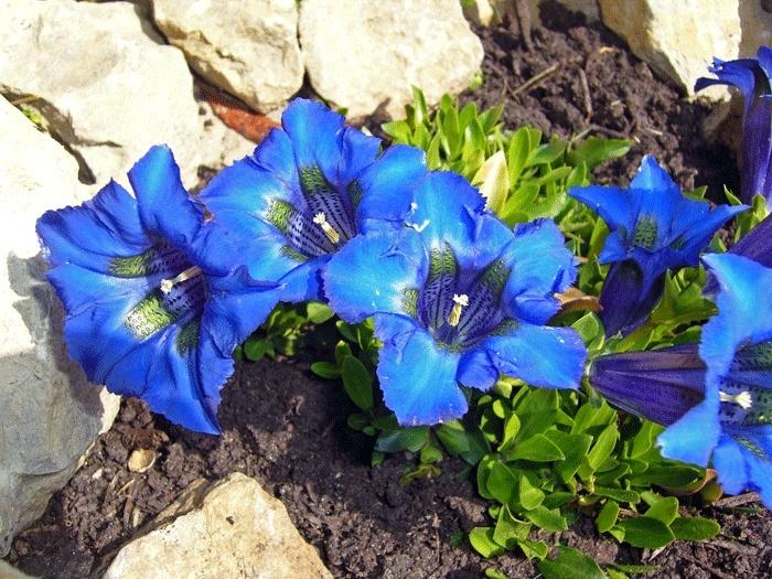 du bleu dans mon jardinet P1190111
