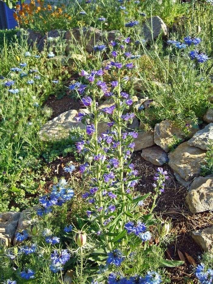 Vipérine commune (Echium vulgare) P1190410