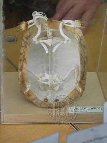 Anatomie des tortues Gn02810