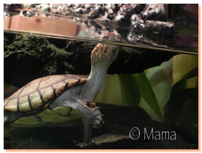 Evolution de coloration, Kinosternon cruentatum Speedy13