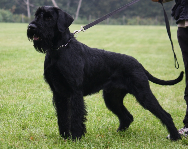 Verry good GIANT Schnauzer with IPO3 for sale  Img_0310