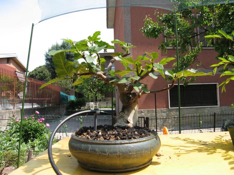 Ficus-Carica - Pagina 2 Img_2118