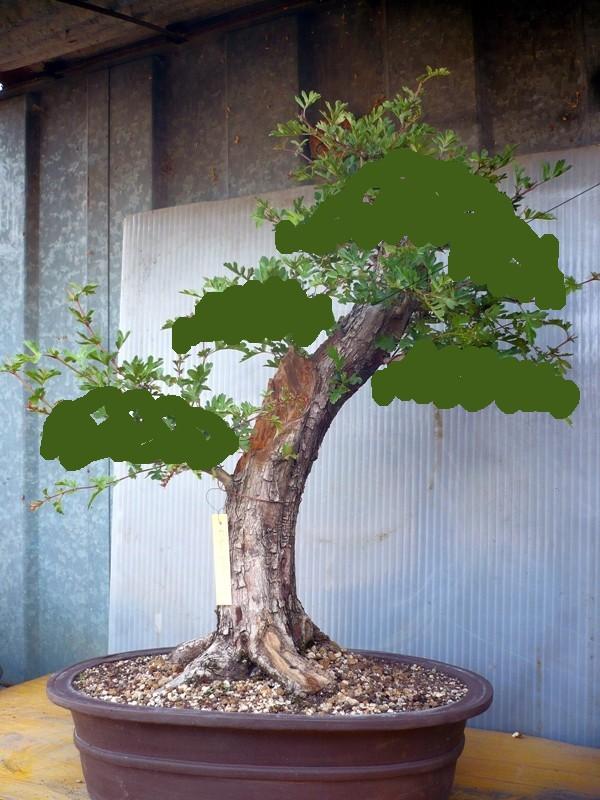 Un biancospino che diventa bonsai...... P1050610