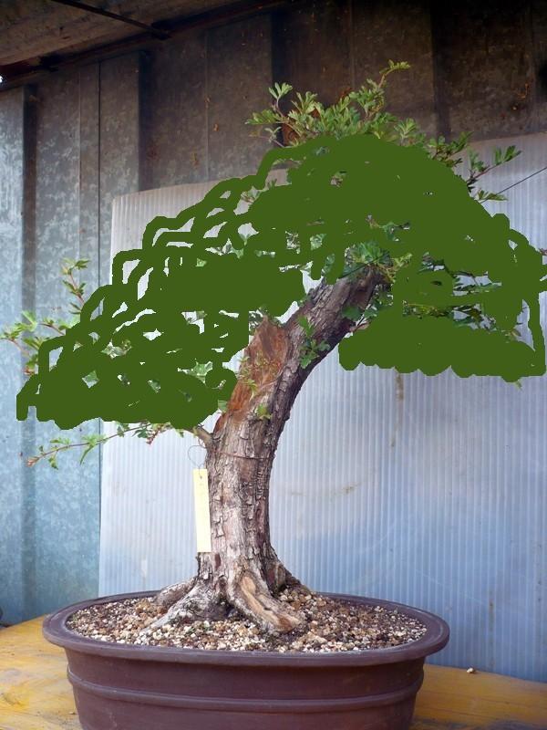 Un biancospino che diventa bonsai...... - Pagina 2 P1050612